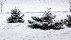 Snow-covered fir-tree in the wood Stock Photo