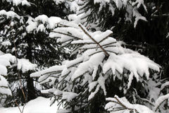 Snow-covered fir-tree in the wood Royalty Free Stock Photos