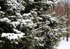 Snow-covered fir-tree in the wood Royalty Free Stock Photo