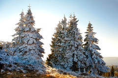 Snow covered fir trees Royalty Free Stock Photos