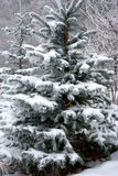Snow covered fir trees Royalty Free Stock Photography