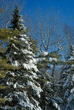 Snow covered fir trees against blue sky Royalty Free Stock Image