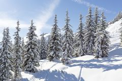 Snow Covered Fir Trees in Austria Royalty Free Stock Photos