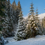 Snow covered fir trees on the background of blue sky Stock Image