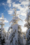 Snow covered fir trees Royalty Free Stock Image