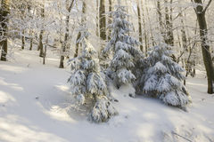 Snow-covered fir trees Royalty Free Stock Photos