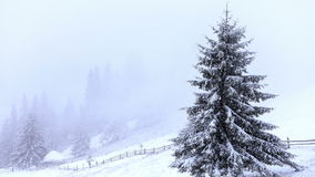 Snow covered fir trees in mountains with snowfall stock video footage