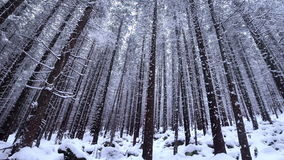 Snow covered fir trees in mountains with snowfall stock video