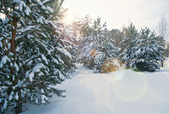 Snow covered fir trees Royalty Free Stock Photo