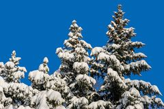 Snow covered fir trees Stock Images