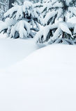 Snow-covered fir trees and snow drifts Stock Image