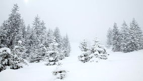 Snow covered fir trees. Snowfall