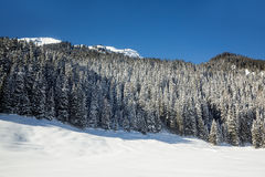 Snow-covered fir trees Royalty Free Stock Photo