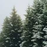 Snow covered fir trees in winter Stock Image