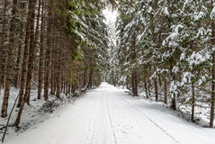 Snow covered fir trees in winter in the evening Royalty Free Stock Image