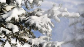 Snow-covered fir trees in winter forest stock video