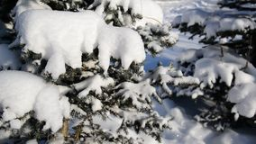 Snow-covered fir trees in winter forest stock footage