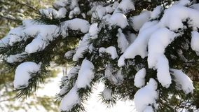 Snow-covered fir trees in winter forest stock video footage