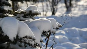 Snow-covered fir trees in winter park stock footage