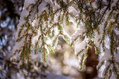 Snow-covered fir twig in the sun. Snow-covered fir branches in the sun in the winter Royalty Free Stock Photo