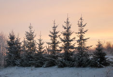 Snow-covered fir in winter Stock Image