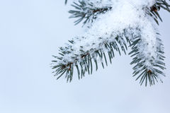 Snow covered fir Royalty Free Stock Photography