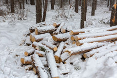 Snow-covered fire wood in pine forest. Royalty Free Stock Image