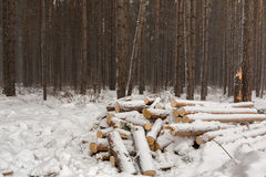 Snow-covered fire wood in pine forest. Royalty Free Stock Photography