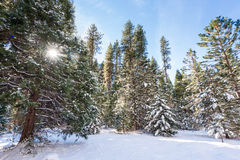 Snow covered firs Royalty Free Stock Images