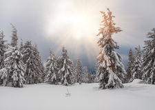 Snow-covered firs in forest Royalty Free Stock Image