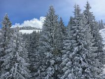 Snow covered firs. In front of a blue sky Royalty Free Stock Images