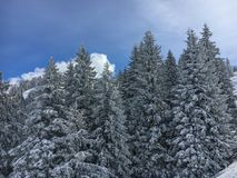 Snow covered firs. In front of a blue sky Stock Photos
