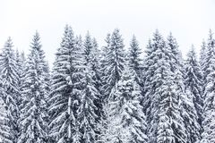 Snow-covered firs Royalty Free Stock Image