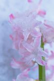 Snow Covered Flower Stock Photography