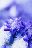 Snow Covered Flower Stock Images