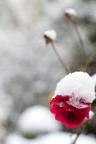 Snow covered flowers stock image