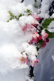 Snow covered flowers Royalty Free Stock Images