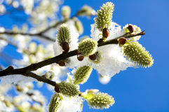 Snow covered flowers in early spring Stock Image