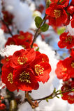 Snow covered flowers in early spring Royalty Free Stock Image