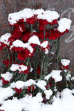 Snow-covered flowers Royalty Free Stock Images