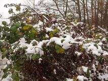snow covered foliage outside forest green brown dead dying close Stock Photo