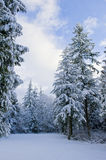 Snow-covered forest. Forest of evergreen trees blanketed in snow Royalty Free Stock Image