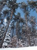 Snow-covered forest from the bottom. A series of photos of trees from the bottom in winter Stock Photos