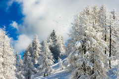 Snow-covered forest of firs Royalty Free Stock Photography