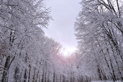 Snow covered forest landscape with lens flare Royalty Free Stock Image