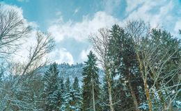 Snow covered forest in the alps  mountains. Snow covered forest mountains alp alps stock image