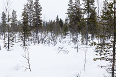 Snow-covered forest in northern Sweden Royalty Free Stock Photography