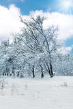 The snow-covered forest in sunny day. Stock Photo