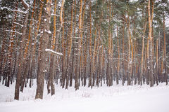 Snow-covered forest at sunset Stock Photos