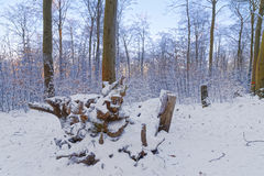 Snow covered forest in the sunset Royalty Free Stock Image
